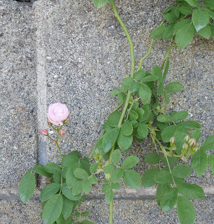 群舞(ツルバラ)の花が咲きだした。2019年-3.jpg