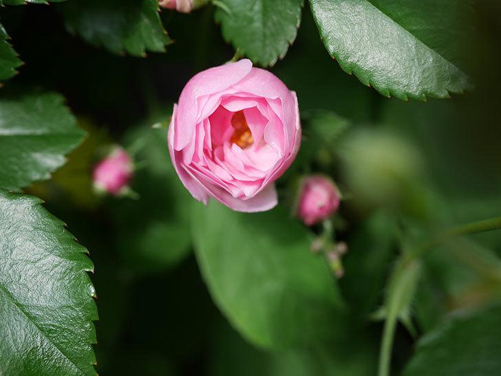 群舞(ツルバラ)の花が咲きだした。ツルバラ。2021年-004.jpg