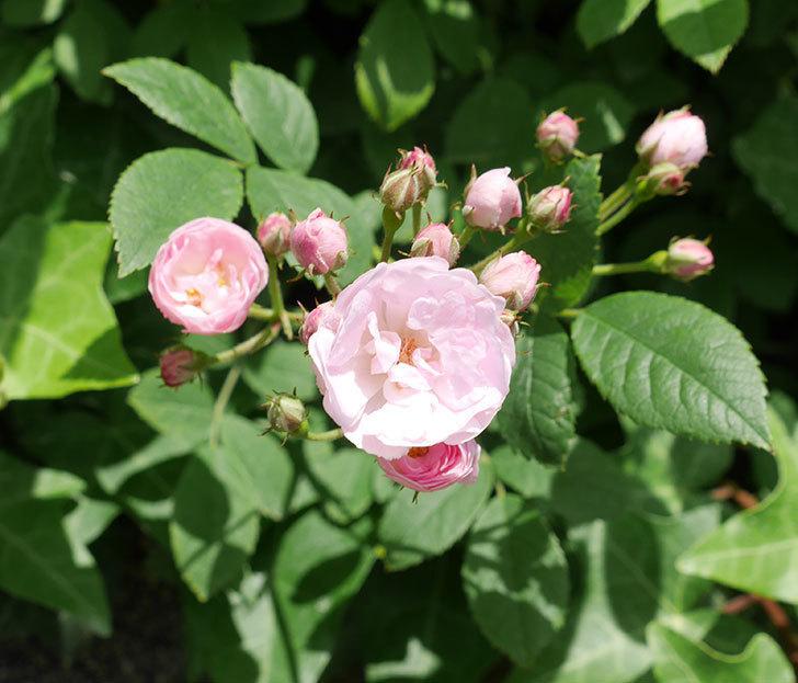 群舞(ツルバラ)の花が増えてきた。2018年-1.jpg