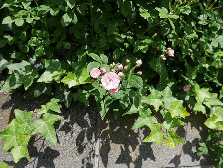 群舞(ツルバラ)の花が増えてきた。2018年-2.jpg