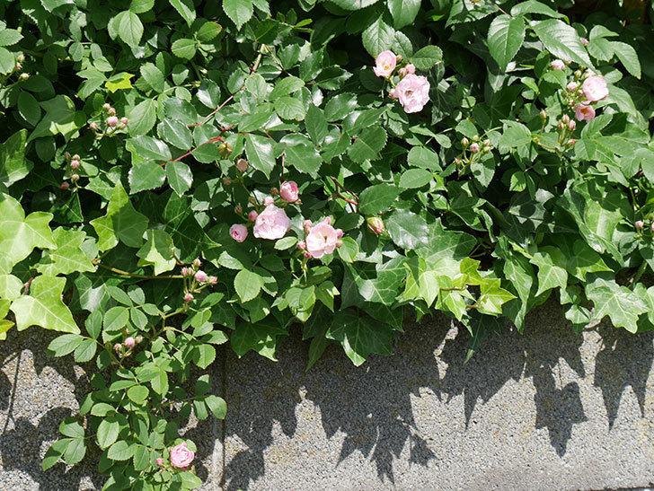 群舞(ツルバラ)の花が増えてきた。2018年-3.jpg