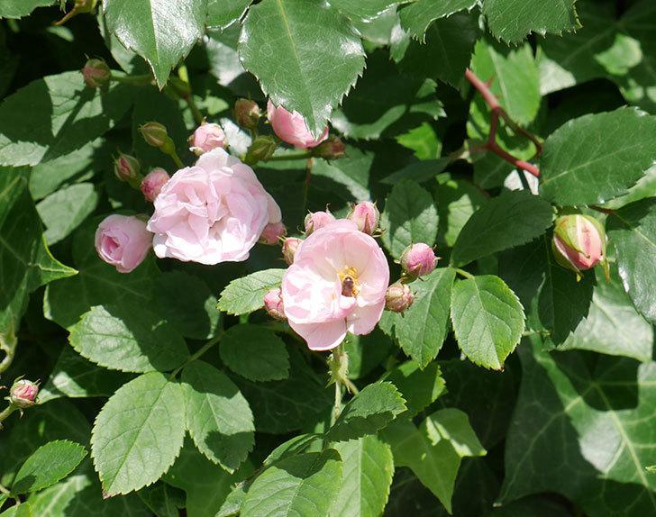 群舞(ツルバラ)の花が増えてきた。2018年-4.jpg