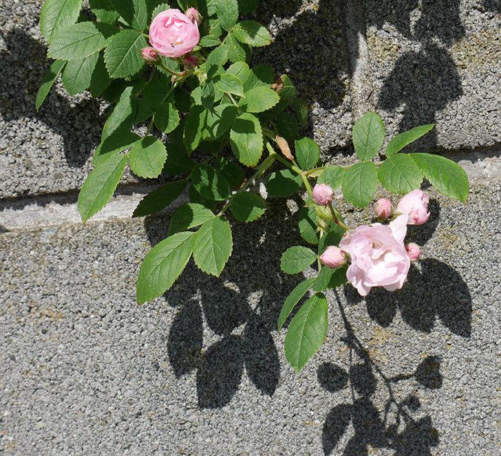 群舞(ツルバラ)の花が増えてきた。2018年-5.jpg