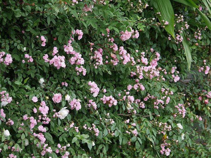 群舞(ツルバラ)の花が増えてきた。2020年-1.jpg