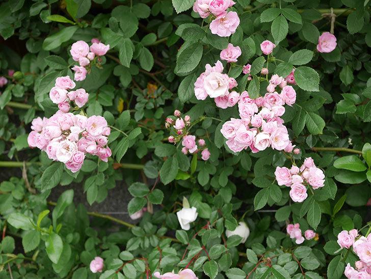群舞(ツルバラ)の花が増えてきた。2020年-10.jpg