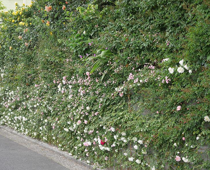 群舞(ツルバラ)の花が増えてきた。2020年-11.jpg