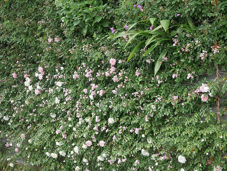 群舞(ツルバラ)の花が増えてきた。2020年-12.jpg