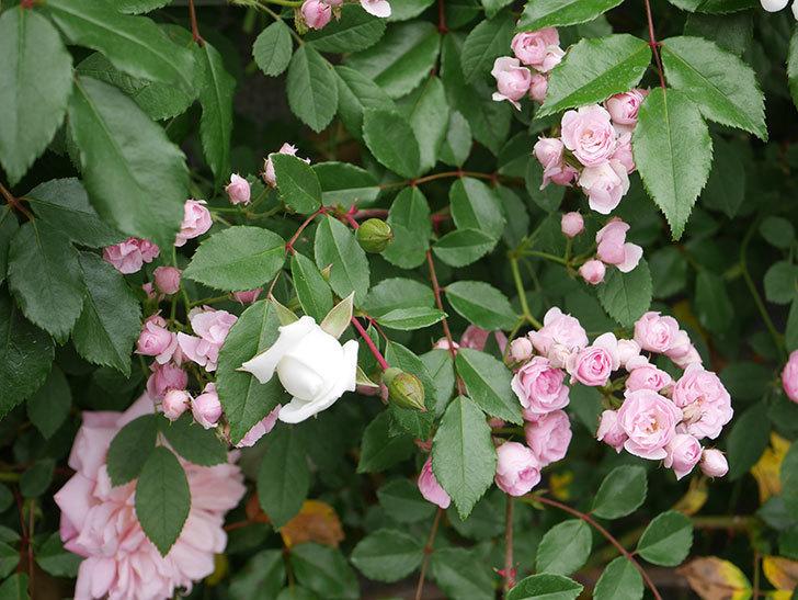 群舞(ツルバラ)の花が増えてきた。2020年-2.jpg