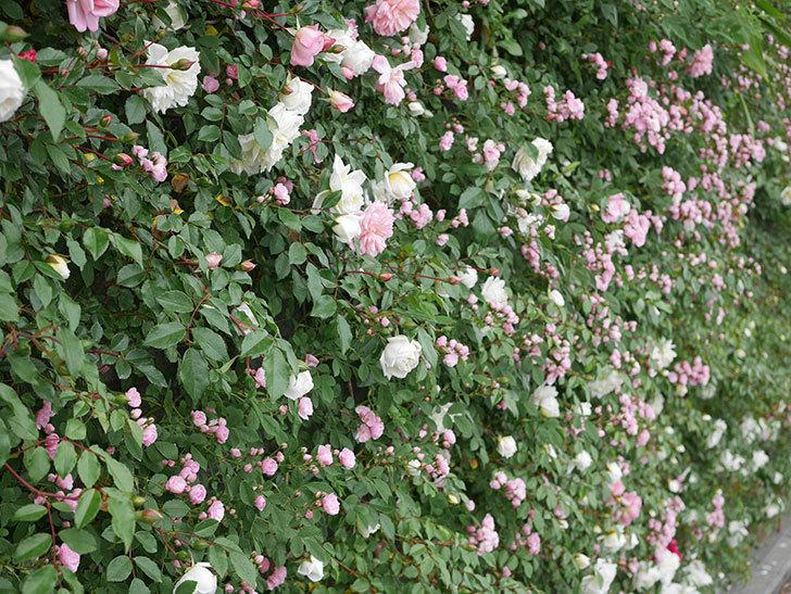 群舞(ツルバラ)の花が増えてきた。2020年-4.jpg