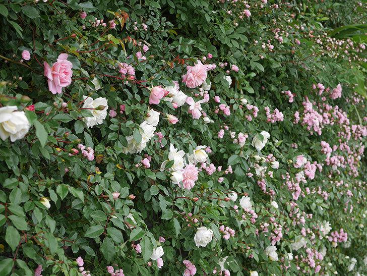 群舞(ツルバラ)の花が増えてきた。2020年-5.jpg