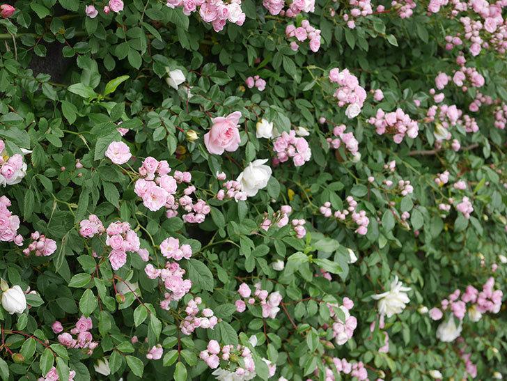 群舞(ツルバラ)の花が増えてきた。2020年-6.jpg