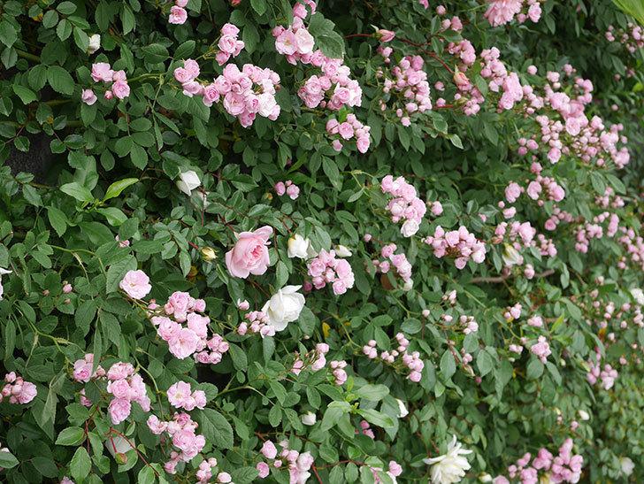 群舞(ツルバラ)の花が増えてきた。2020年-7.jpg