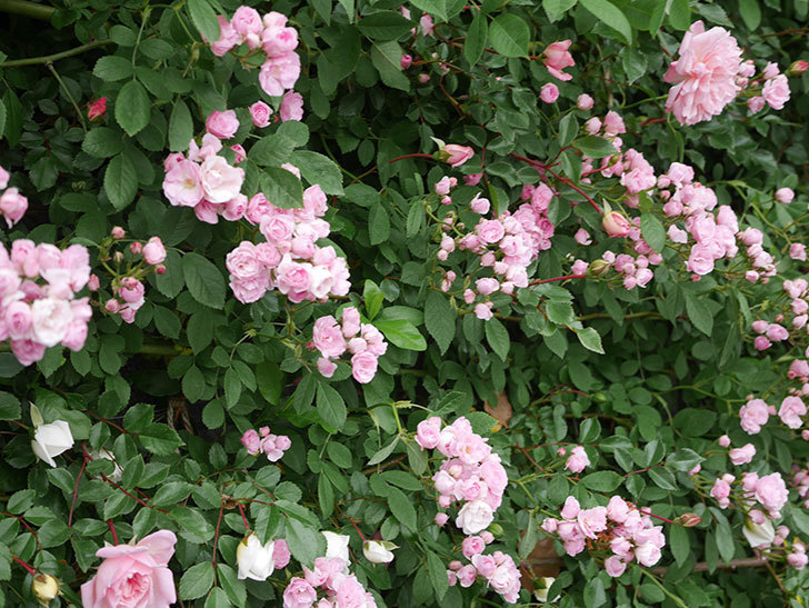 群舞(ツルバラ)の花が増えてきた。2020年-8.jpg