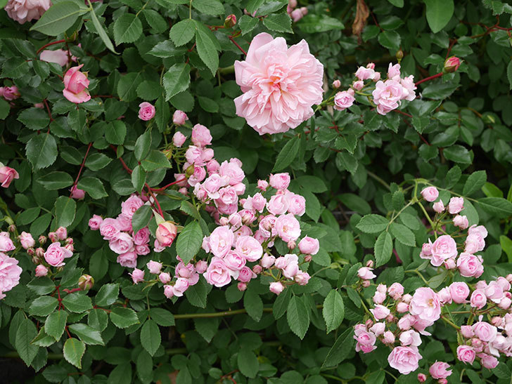 群舞(ツルバラ)の花が増えてきた。2020年-9.jpg