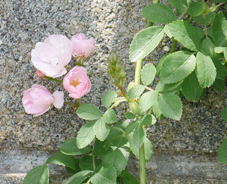 群舞(ツルバラ)の花が増えて来た。2019年-1.jpg