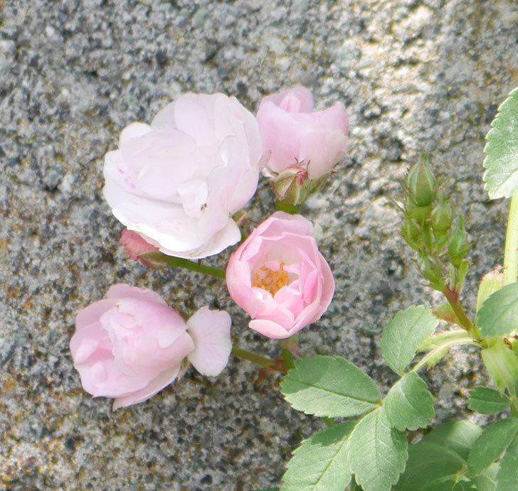 群舞(ツルバラ)の花が増えて来た。2019年-2.jpg