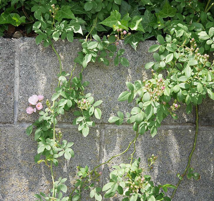 群舞(ツルバラ)の花が増えて来た。2019年-3.jpg