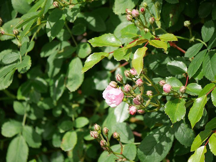 群舞(ツルバラ)の花が少しずつ増えてきた。ツルバラ。2021年-002.jpg