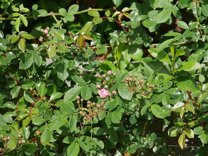 群舞(ツルバラ)の花が少しずつ増えてきた。ツルバラ。2021年-007.jpg