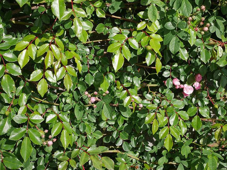 群舞(ツルバラ)の花が少しずつ増えてきた。ツルバラ。2021年-010.jpg