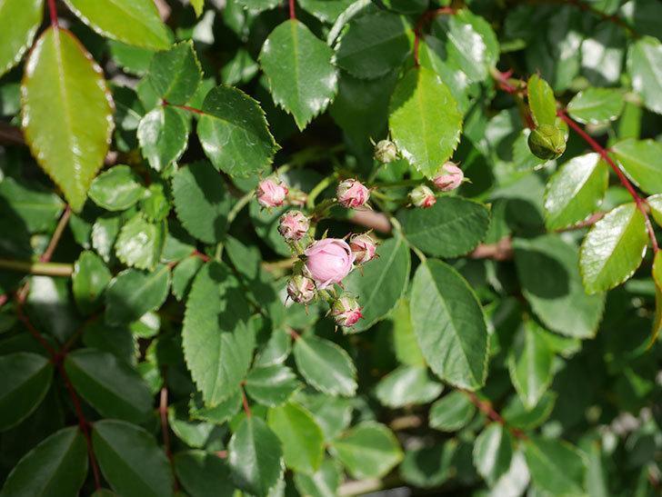 群舞(ツルバラ)の花が少しずつ増えてきた。ツルバラ。2021年-011.jpg