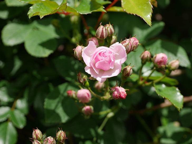 群舞(ツルバラ)の花が少しずつ増えてきた。ツルバラ。2021年-015.jpg