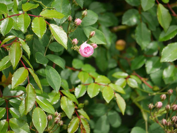 群舞(ツルバラ)の花が少し咲いた。2020年-11.jpg