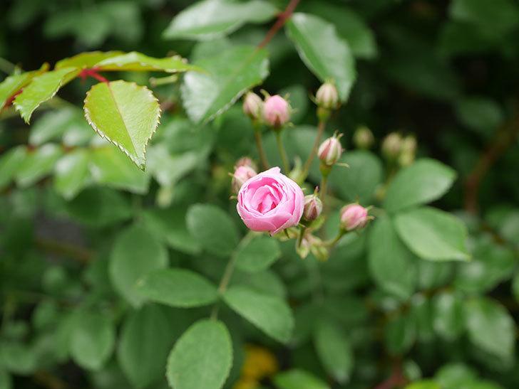 群舞(ツルバラ)の花が少し咲いた。2020年-5.jpg
