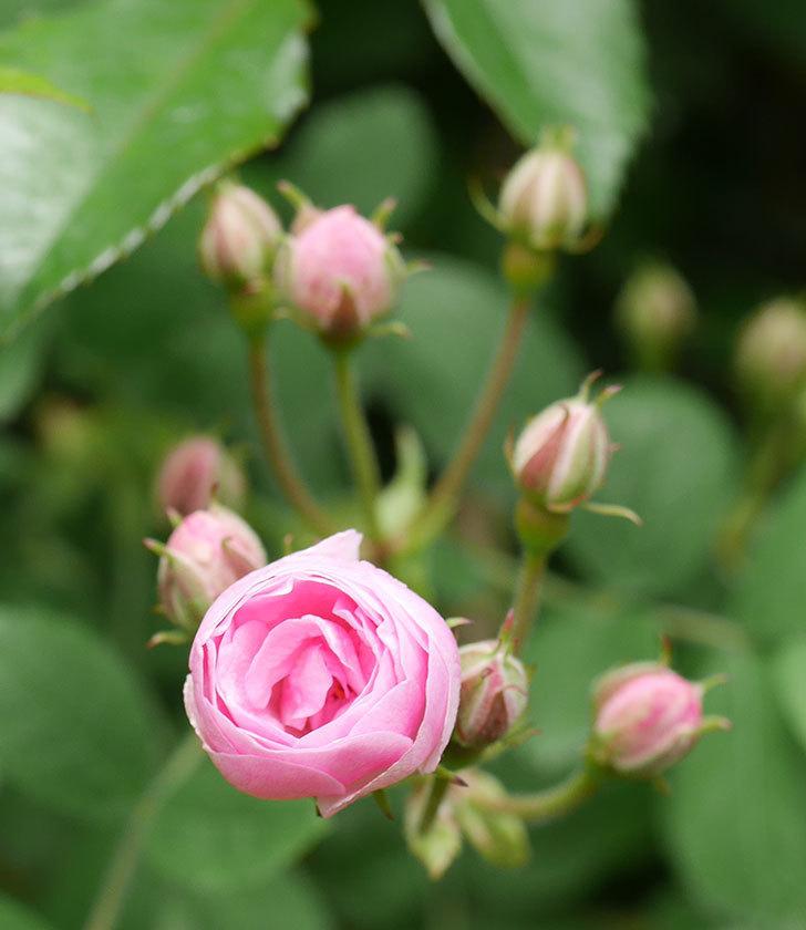 群舞(ツルバラ)の花が少し咲いた。2020年-6.jpg
