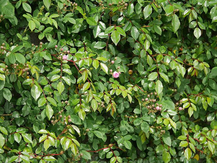 群舞(ツルバラ)の花が少し咲いた。2020年-9.jpg