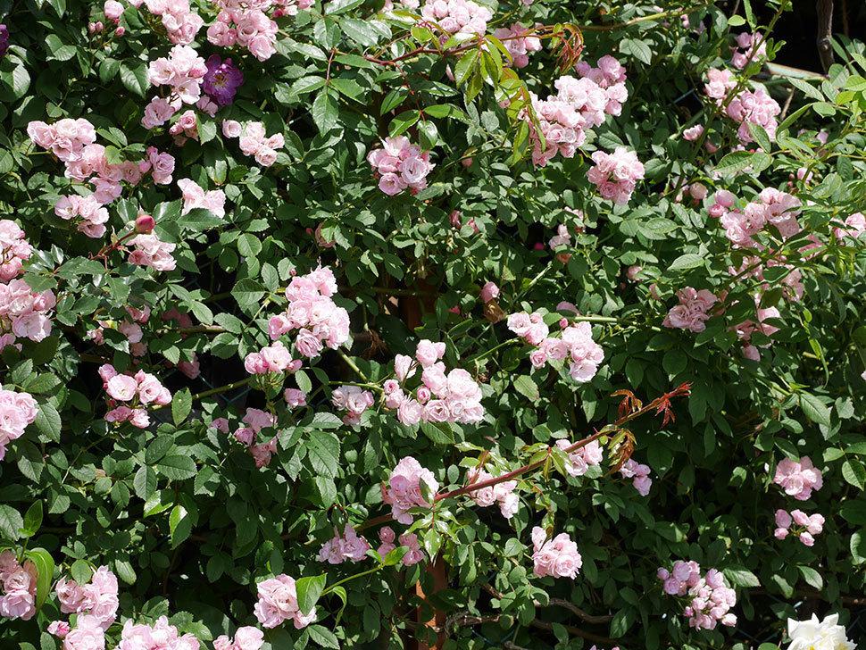 群舞(ツルバラ)の花が満開になった。2019年-10.jpg