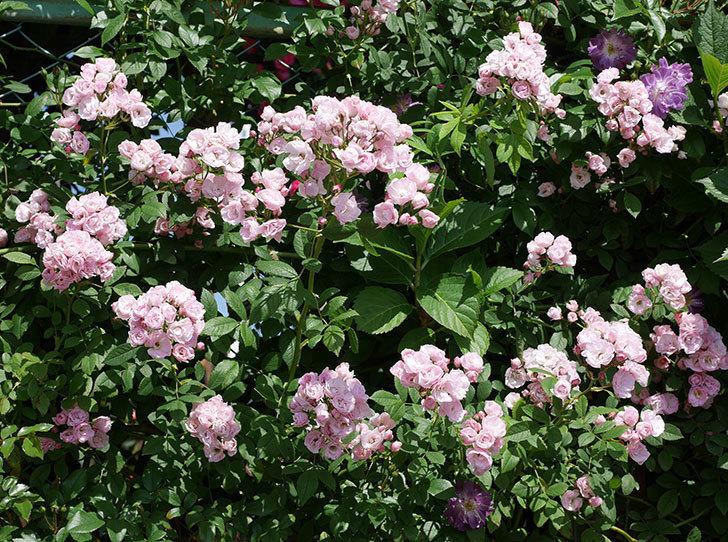 群舞(ツルバラ)の花が満開になった。2019年-12.jpg