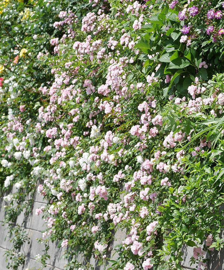 群舞(ツルバラ)の花が満開になった。2019年-14.jpg