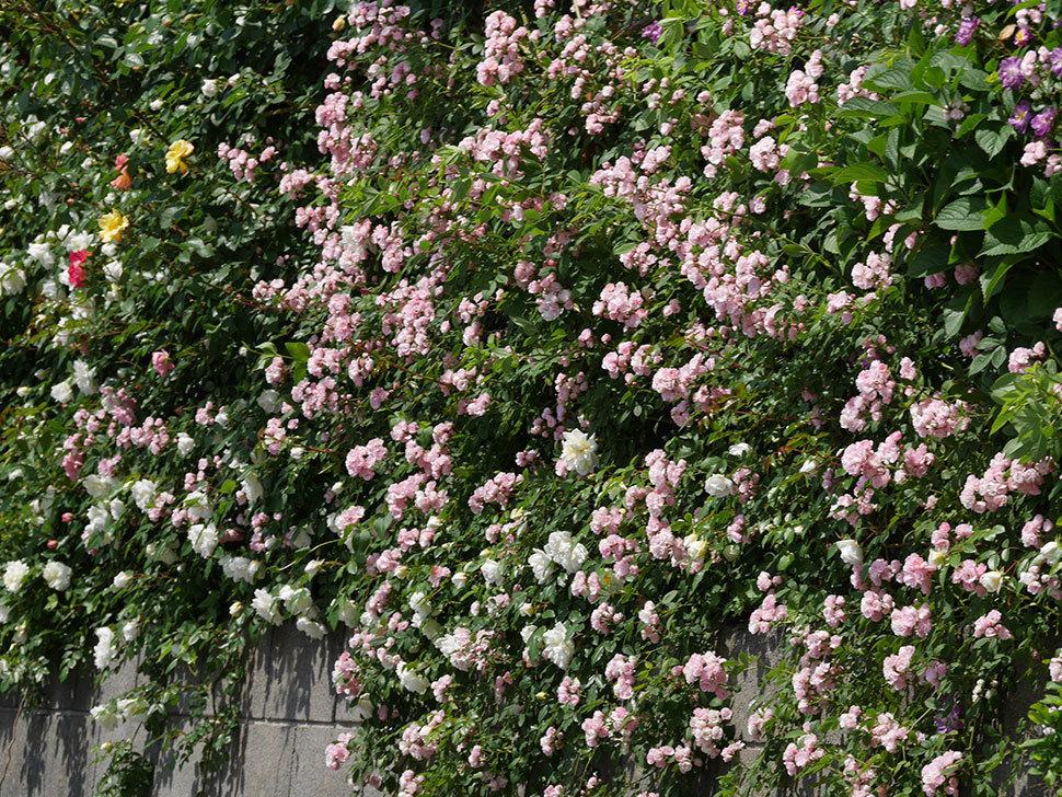 群舞(ツルバラ)の花が満開になった。2019年-2.jpg