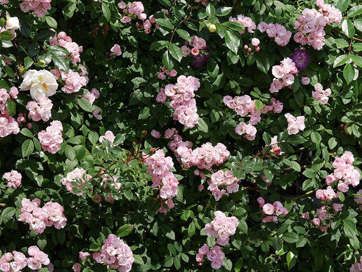 群舞(ツルバラ)の花が満開になった。2019年-3.jpg