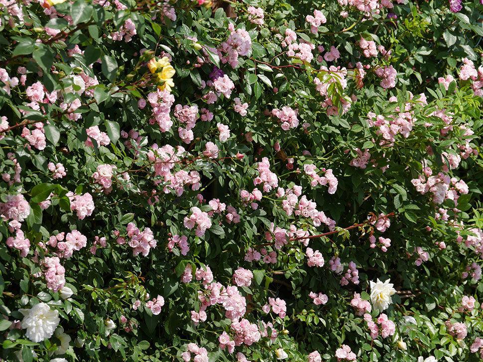 群舞(ツルバラ)の花が満開になった。2019年-4.jpg