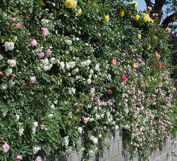 群舞(ツルバラ)の花が満開になった。2019年-6.jpg