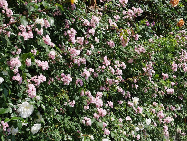 群舞(ツルバラ)の花が満開になった。2019年-7.jpg