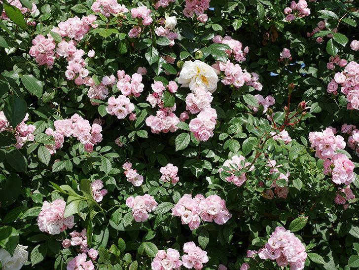群舞(ツルバラ)の花が満開になった。2019年-8.jpg