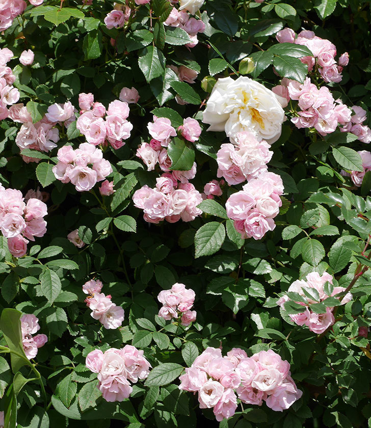 群舞(ツルバラ)の花が満開になった。2019年-9.jpg