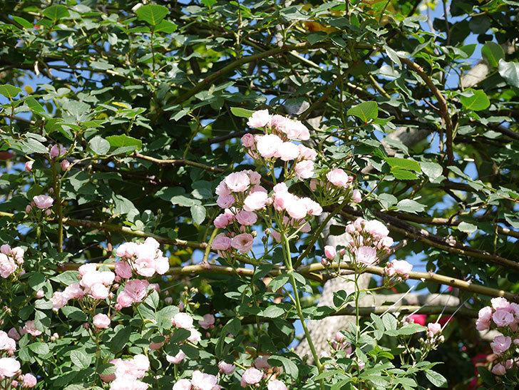 群舞(ツルバラ)の花が満開になった。ツルバラ。2021年-001.jpg