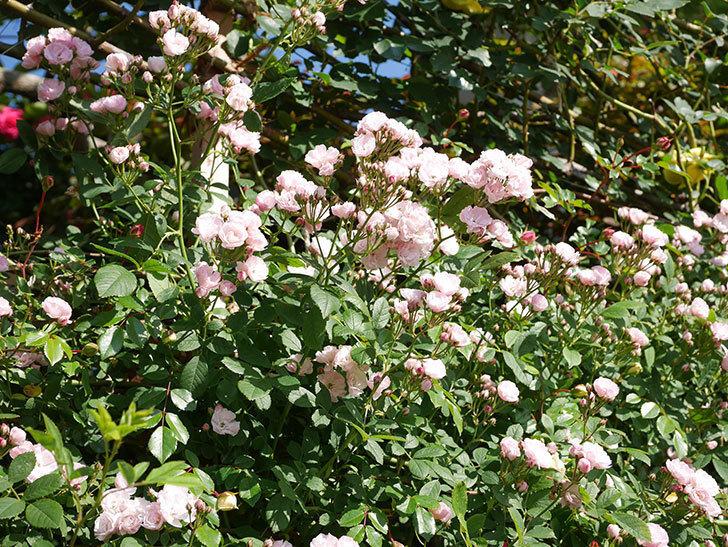 群舞(ツルバラ)の花が満開になった。ツルバラ。2021年-002.jpg