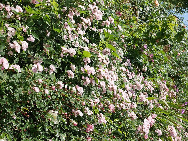 群舞(ツルバラ)の花が満開になった。ツルバラ。2021年-003.jpg