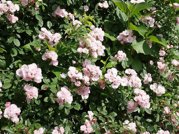 群舞(ツルバラ)の花が満開になった。ツルバラ。2021年-004.jpg