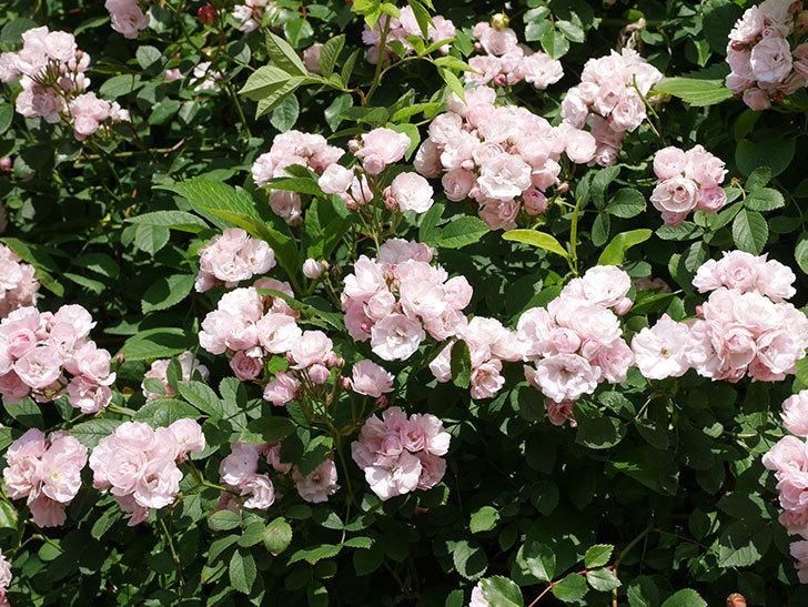 群舞(ツルバラ)の花が満開になった。ツルバラ。2021年-005.jpg