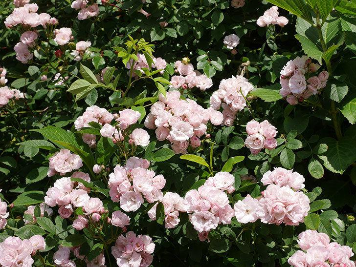 群舞(ツルバラ)の花が満開になった。ツルバラ。2021年-006.jpg