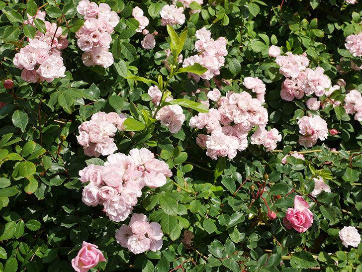 群舞(ツルバラ)の花が満開になった。ツルバラ。2021年-007.jpg