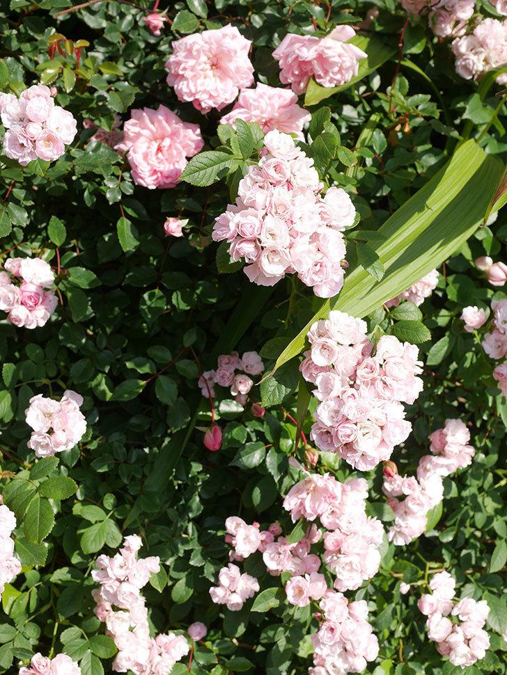 群舞(ツルバラ)の花が満開になった。ツルバラ。2021年-008.jpg