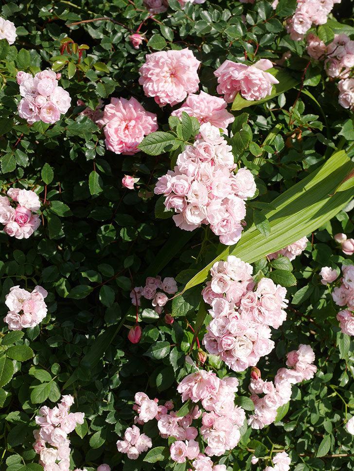 群舞(ツルバラ)の花が満開になった。ツルバラ。2021年-009.jpg