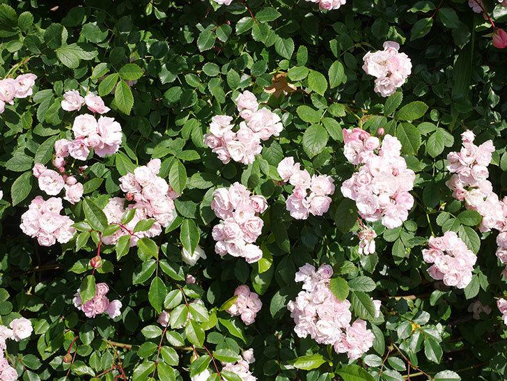 群舞(ツルバラ)の花が満開になった。ツルバラ。2021年-010.jpg